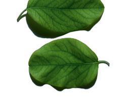Quince leaf ingredient
