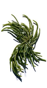 Organic Salicornia