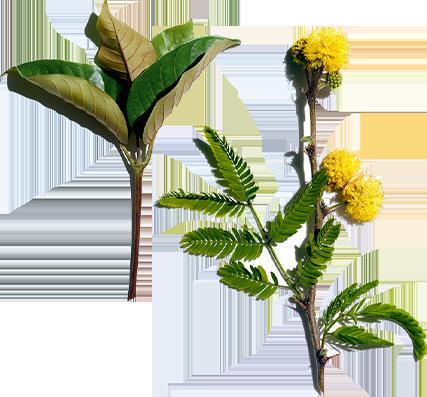 Harungana and Cassia flower