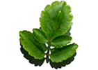 Leaf of life extract is derived from organic plants and helps boost skin's natural hydration process