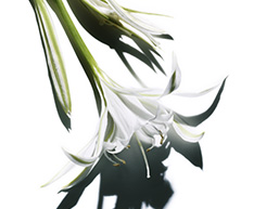 Sea lily ingredient