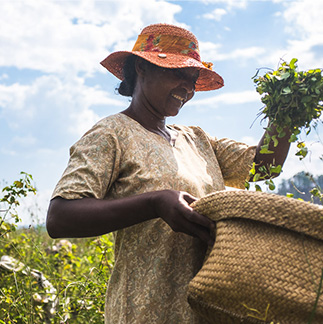 Woman carrying a basket of centella asiatica